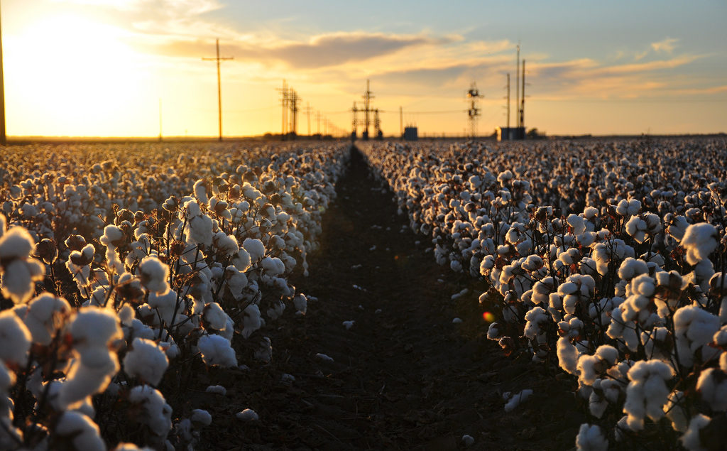 Cotton Harvest by Kimberly Vardeman, vi Flickr